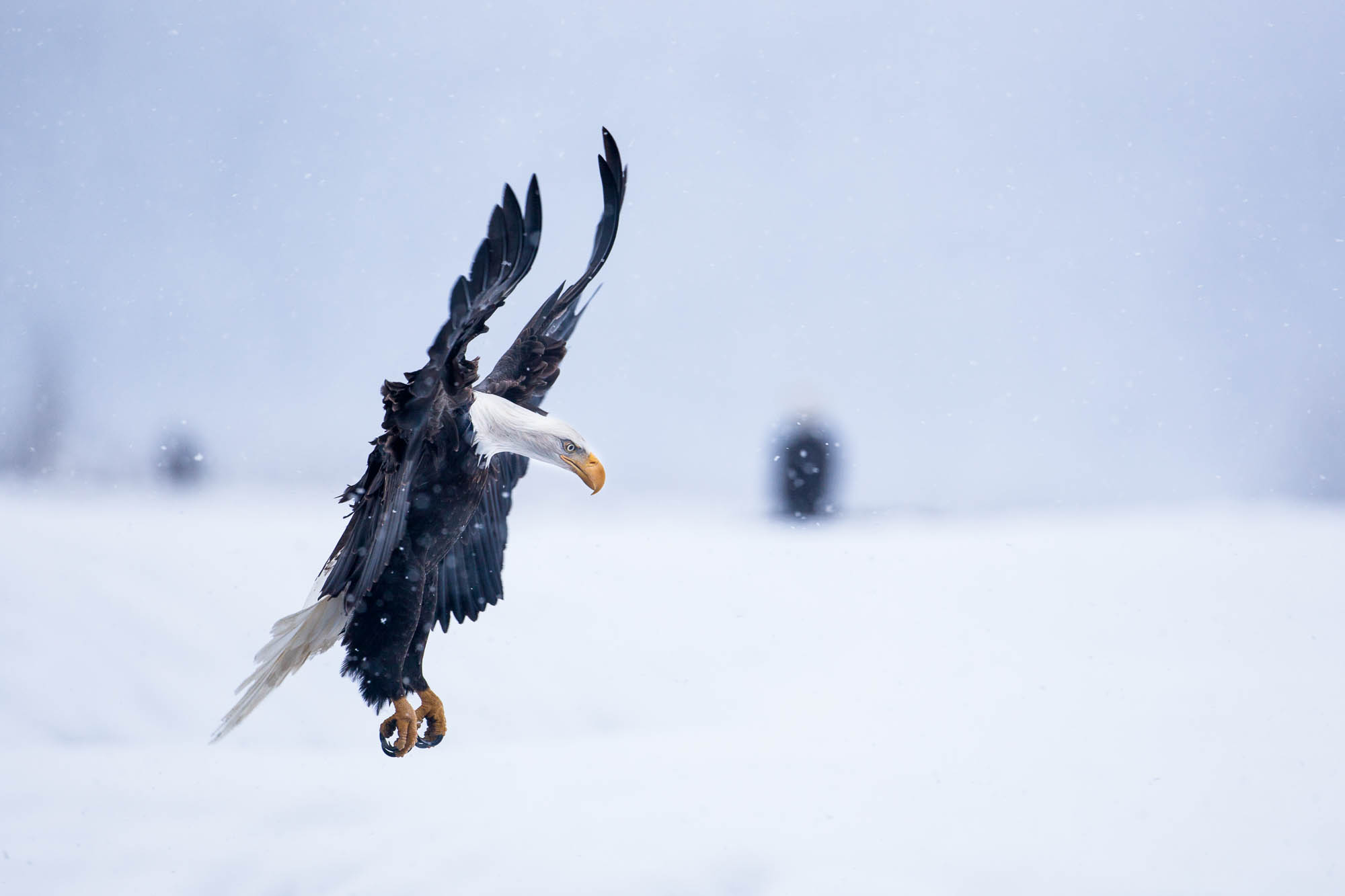 Bad Eagle landing in snow fall