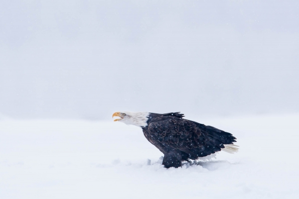 Bald Eagle calling in snow