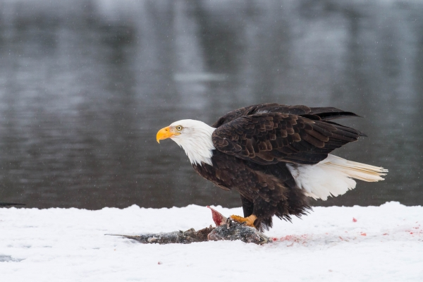 Bald Eagle feasting on Chum Salmon