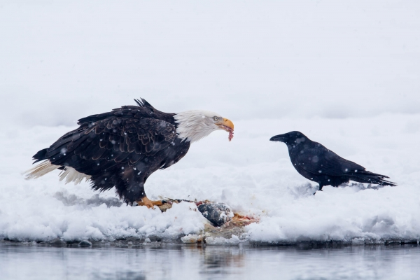 Bald Eagle feasting on salmon with raven
