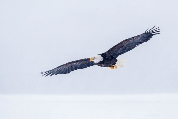 Bald Eagle flying in snowstorm
