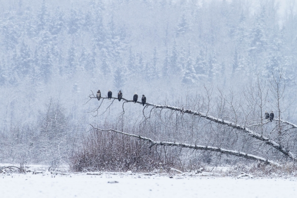 Bald Eagle group in snowstorm