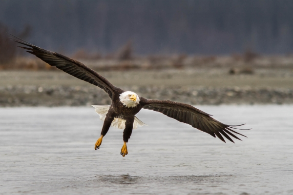 Bald Eagle preparing to land on the Chilkat River banks