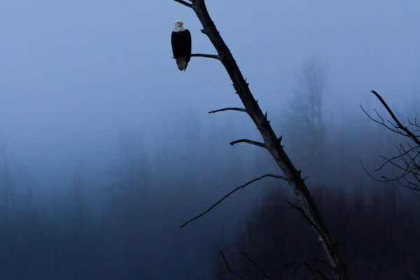 Bald Eagle perched on a dead tree at twilight