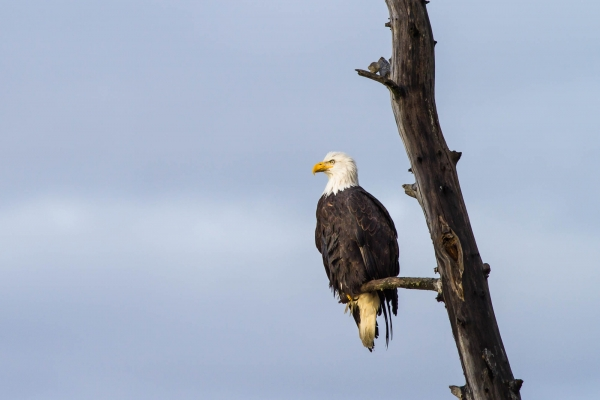 Bald Eagle perched on a dead tree limb