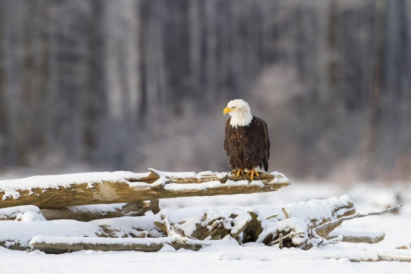 Bald Eagle perched on a dead tree