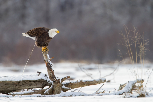 Bald Eagle pooping