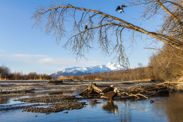 Bald Eagles in the Chilkat River Valley