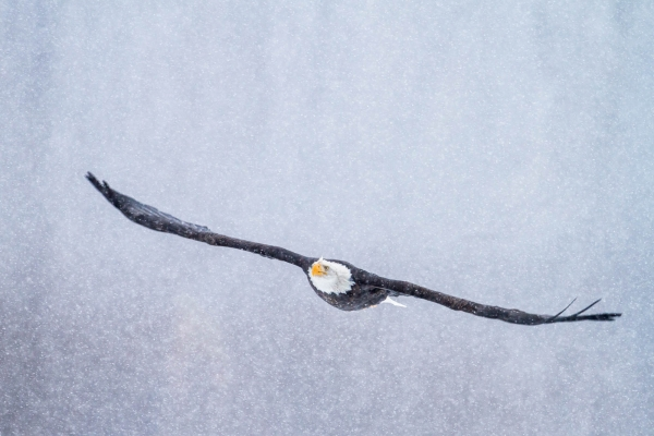 Flying Bald Eagle in Snowstorm