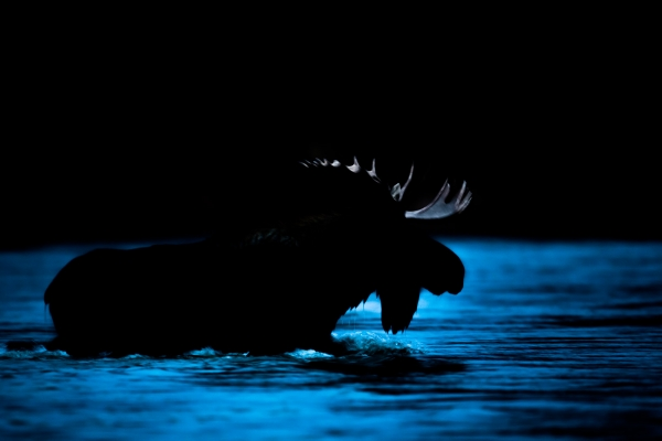 Bull Moose crossing a river (Yukon, Canada)
