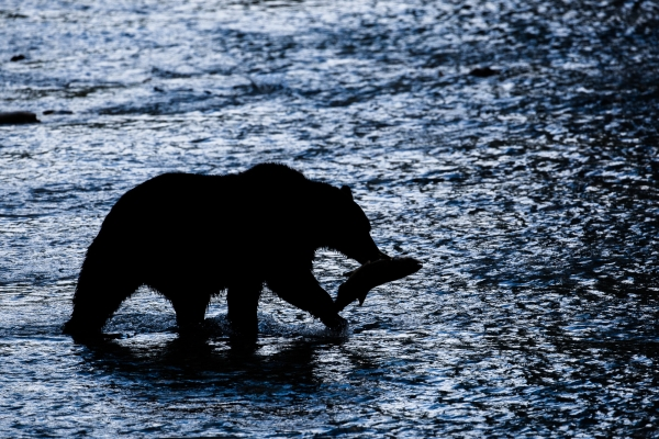 Grizzly Bear feasting on salmon in a creek (Alaska, USA)
