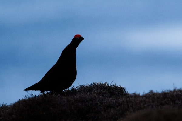 Red Grouse (Scotland, UK)
