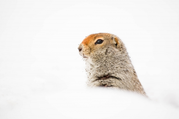 Arctic Ground Squirrel peeking out of its burrow in Winter
