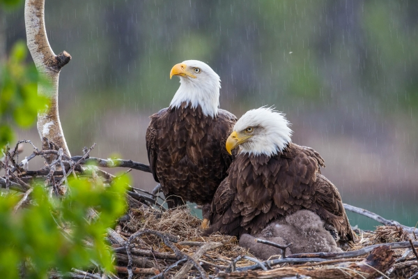 Bald Eagle couple and their eaglet in nest