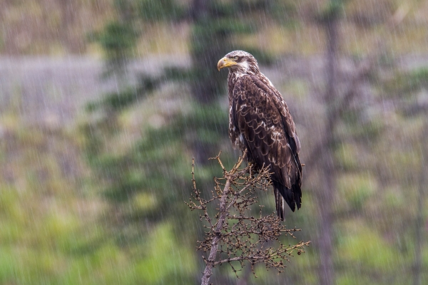 Immature Bald Eagle in rain