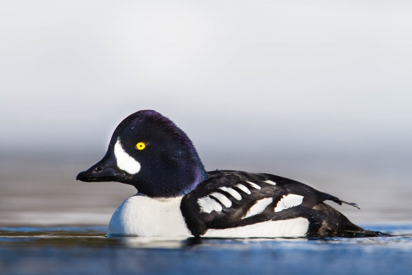 Barrow's Goldeneye male in cold water