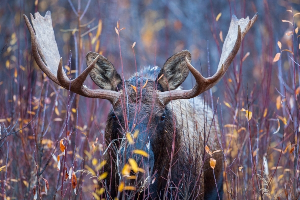 Bull Moose in Fall colors
