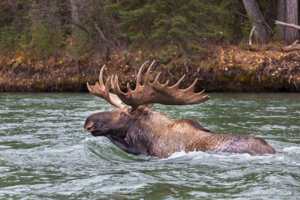 Bull Moose swimming accross a river