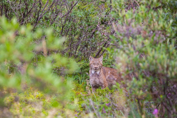 Canadian Lynx peeking out of the vegetation