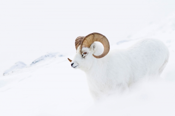 Dall Sheep Ram in snowstorm