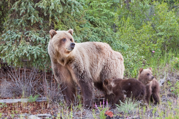 Grizzly Bear female and her two cubs