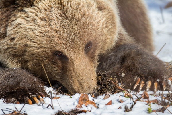 Grizzly Bear digging for roots in early Spring