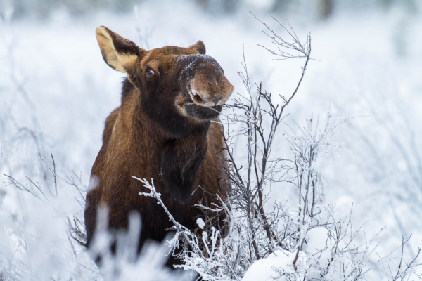 Moose cow feeding on willow bark in Winter