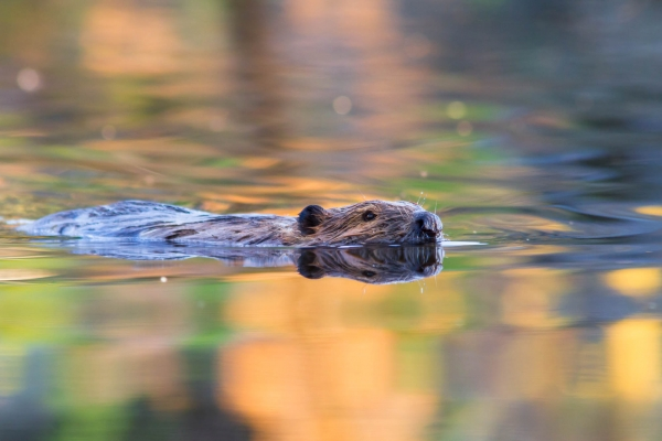 Beaver swimming in a small pond
