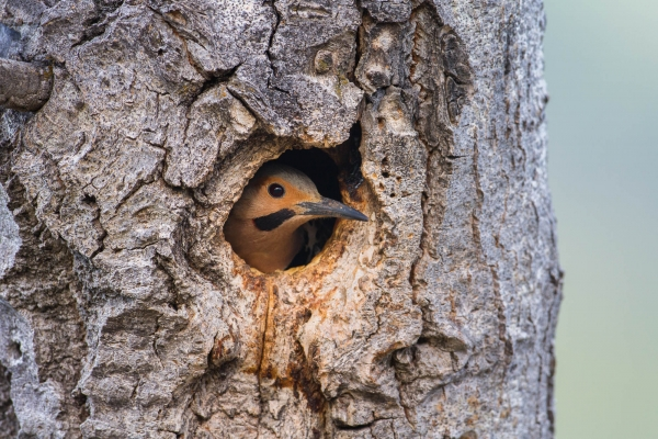 Northern Flicker female peeking out of her nest cavity