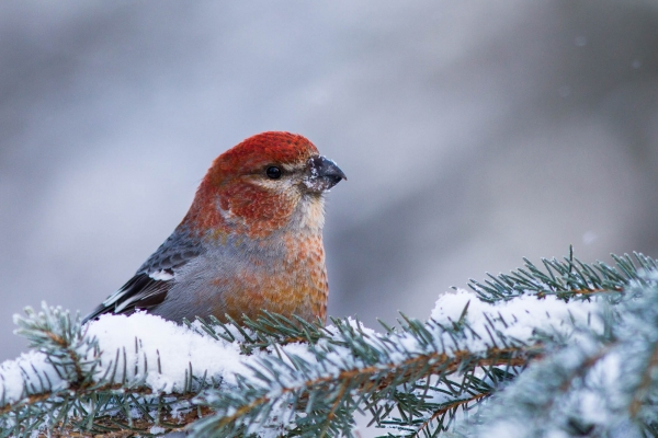 Pine Grosbeak male perched on a snowy branch