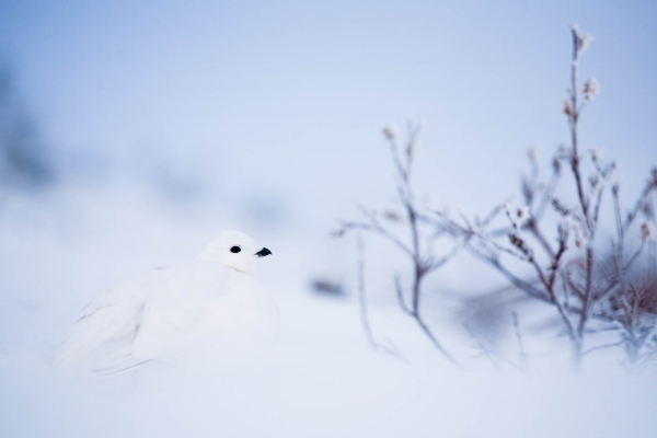 Willow ptarmigan in Winter plumage