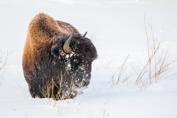 Wood Bison in deep snow