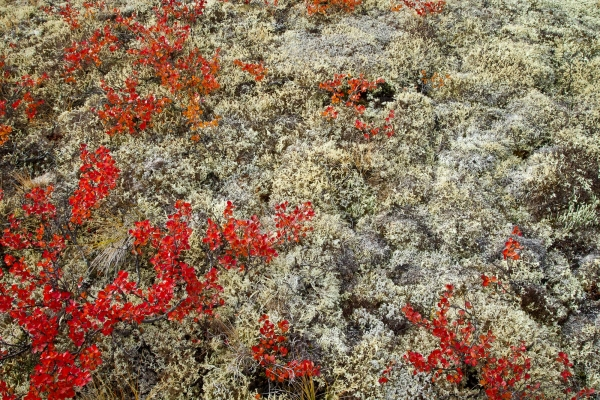 Close-up on the Fall colors of the alpine tundra (Yukon, Canada)