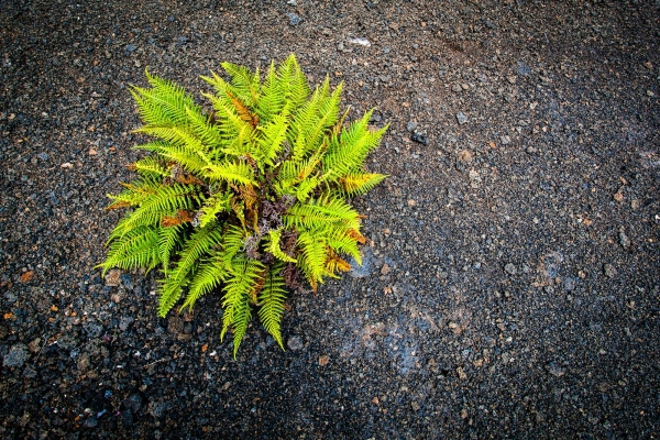 Single green plant growing in the Kilauea Iki Crater (Hawaii Volcanoes National Park)