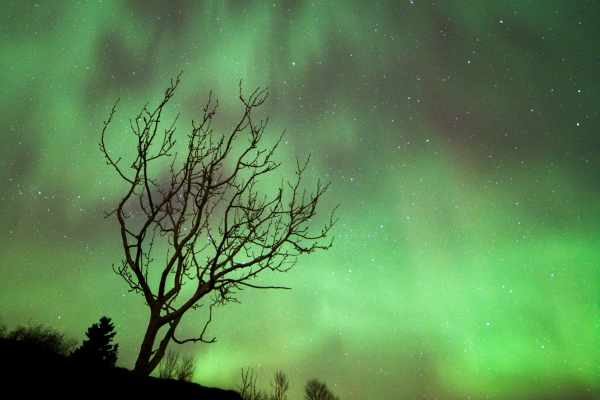 Northern Lights dancing over a lonely birch tree