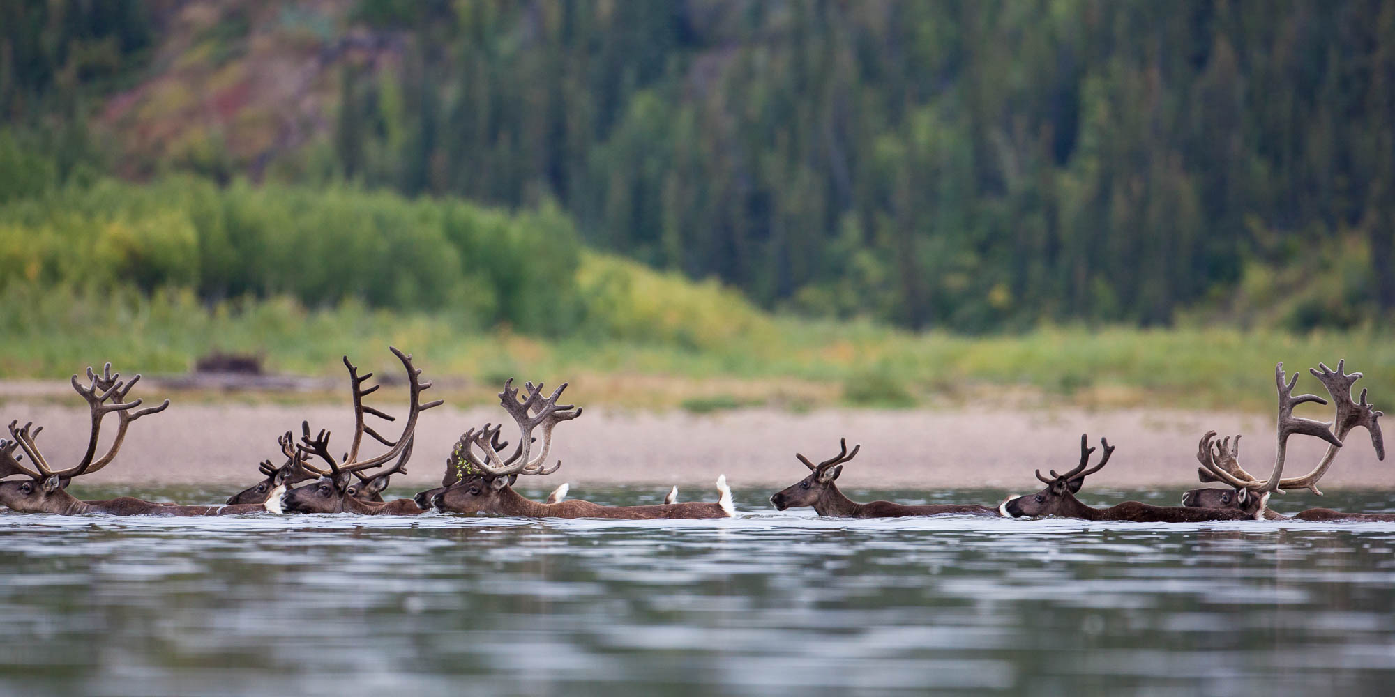 Caribou herd swimming across the Porcupine River (Yukon)