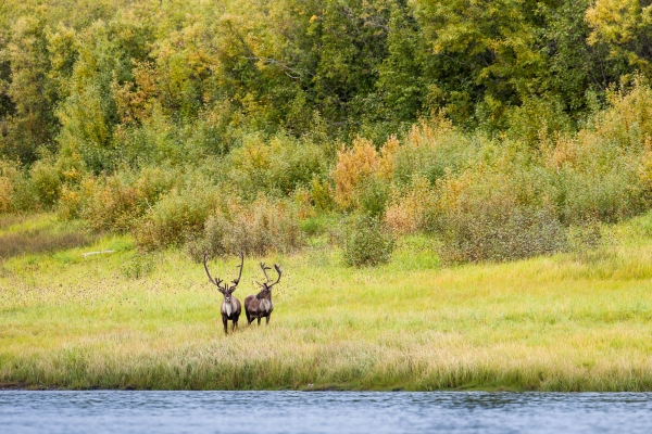 Caribou grazing along the Porcupine River