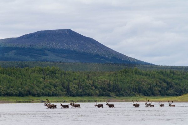 A group of caribou crossing the Porcupine River