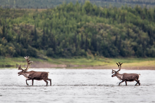 Two caribou crossing the Porcupine River