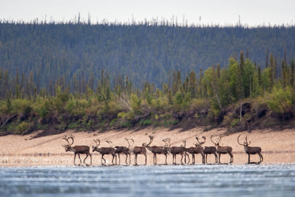 Caribou wandering inline on the Porcupine River's banks