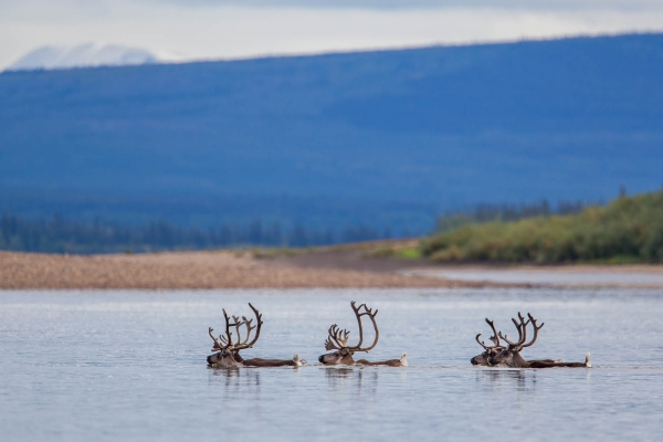 Caribou swimming across the Porcupine River