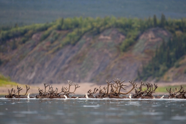A large group of caribou swimming across the Porcupine River