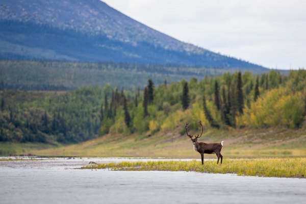 A lonely Caribou standing along the Porcupine River