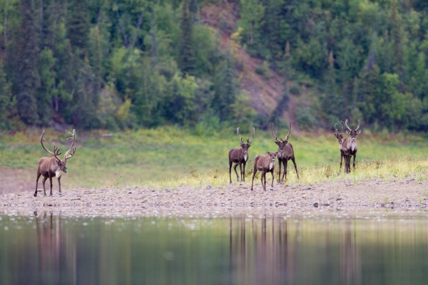 Caribou on the banks of the Porcupine River