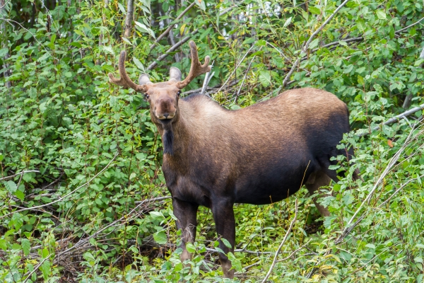Young Bull Moose, Northern Yukon
