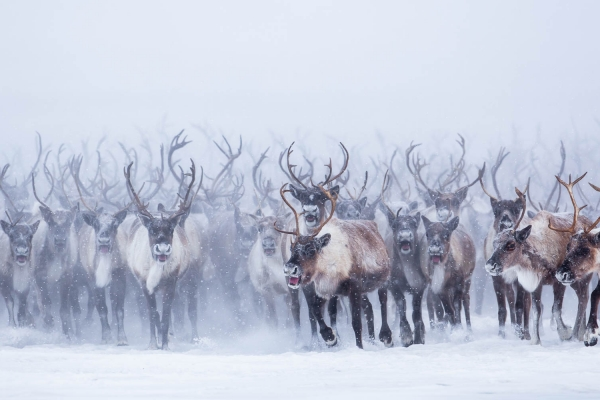 Facing the Mackenzie Delta Reindeer Herd