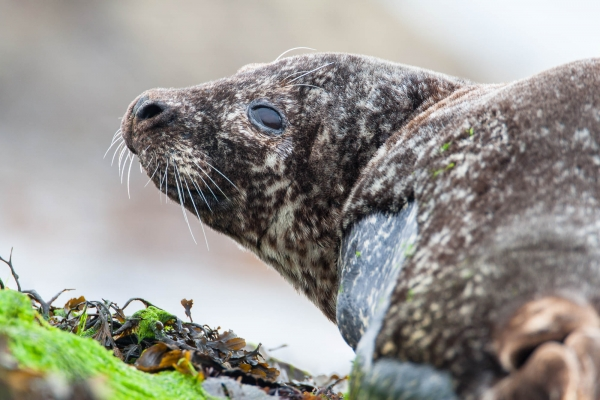 Adult Harbor Seal on a Shetland beach