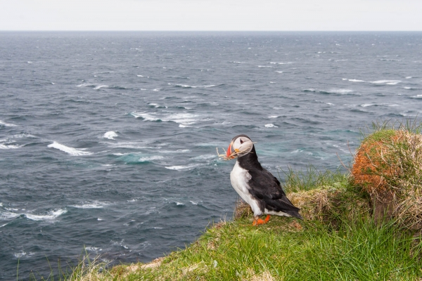 Atlantic Puffin preparing its nest