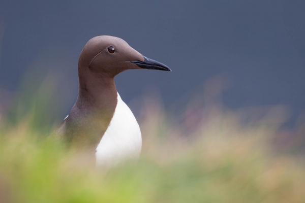 Common Murre portrait