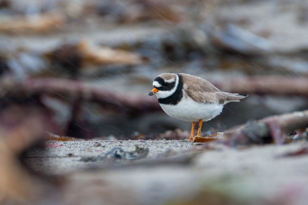 Common Ringed Plover on a beach